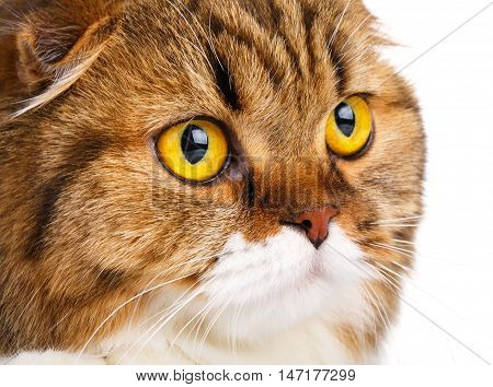portrait serious orange and white Scottish Fold cat with big yellow eyes isolated on white background and look in camera