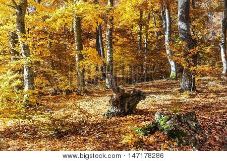 Beautiful colorful autumn with yellow leaves in Transylvania