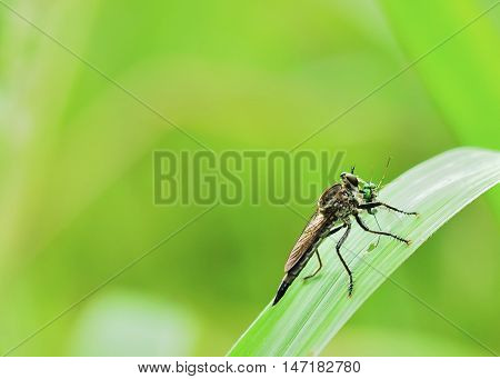 seemed a robber fly was enjoying prey by sucking