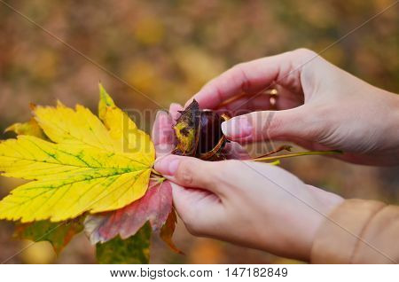 Opened chestnut and maple leaves in female hands. Autumn Still Life