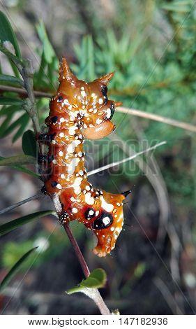 Spectacular Banksia Moth caterpillar (Danima banksiae) in open forest, Royal National Park, Sydney, Australia