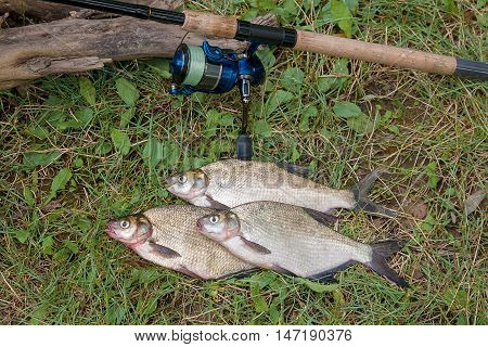 Three Common Bream Fish On The Natural Background. Catching Freshwater Fish And Fishing Rod With Fis
