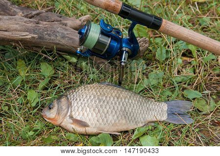 One Crucian Fish Or Carassius On Green Grass. Catching Freshwater Fish And Fishing Rod With Fishing