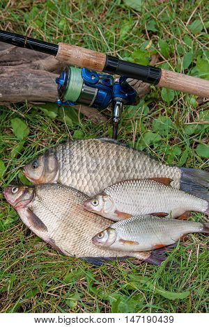 Several Common Bream Fish, Crucian Fish Or Carassius, Roach Fish, Bleak Fish On The Natural Backgrou