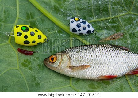 Close Up View Of Single Common Rudd Fish And Fishing Bait On Natural Background.