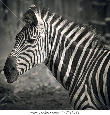 Closeup on beautiful zebra's head