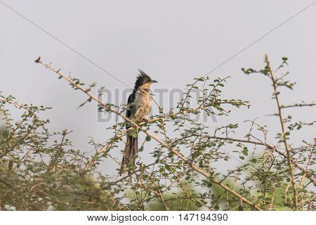 Jacobin Cuckoo or pied crested cuckoo perched