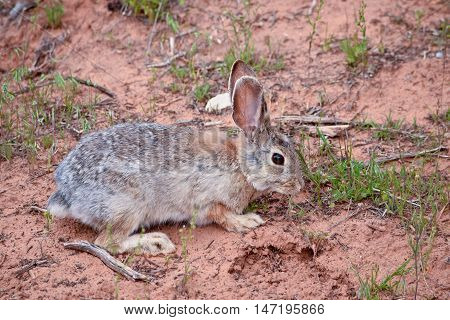 Rabbit in the wilds in  the Utah, USA