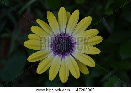 Lemon Symphony Osteospermum Purple and yellow flower