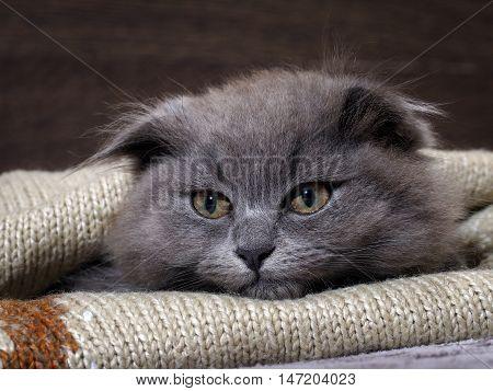 Portrait of a cute kitten. Grey furry lop-eared cat with huge eyes