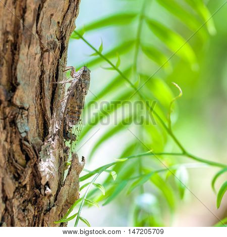 Close up of Cicada camouflaged on an tree Crete Greece