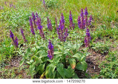 Purple wild salvia flowers on the meadow