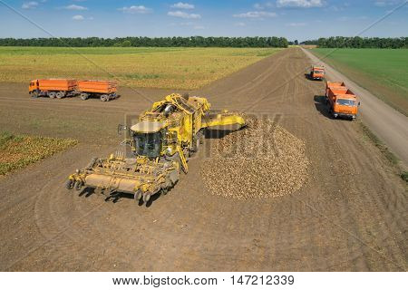 KRASNODAR REGION, RUSSIA - AUG 19, 2015: Harvester unloads sugar beet into heap near trucks, In 2015 in Krasnodar region yields reached record level - 58.4 centners per hectare