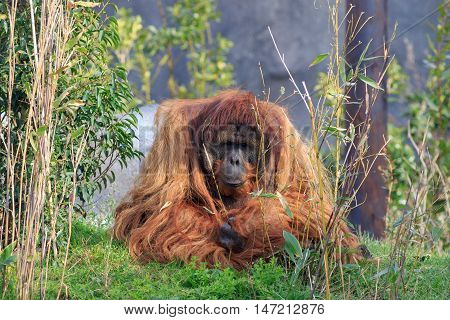 A Sumatran orangutang close up on grass