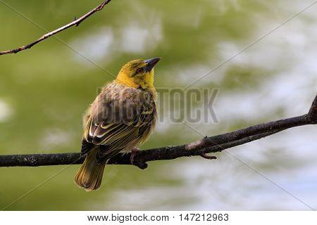 Village Weaver (Ploceus cucullatus) perched on a branch