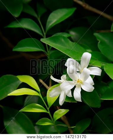 Orange Jessamine flowers (Satin-woodCosmetic Bark Tree)tropical flower.
