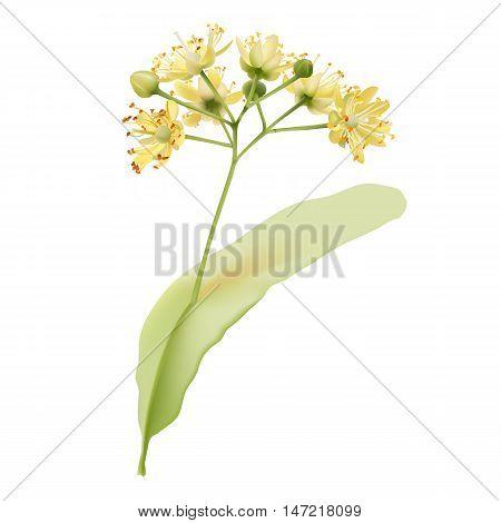 Tiliaflower