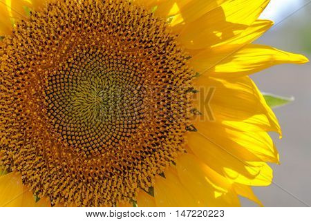 sunflower photo, sun flower, summer sunflower, yellow sunflower, blossom sunflower, sunflower seeds, sunflower macro photo