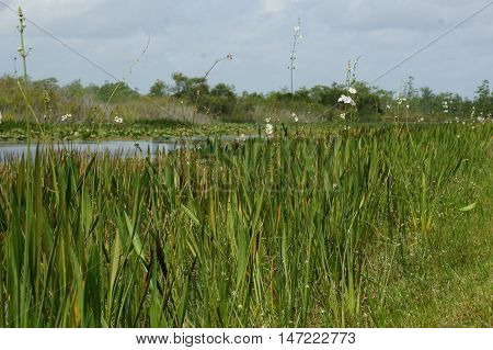white flowers in tall grass in the swamps of florida