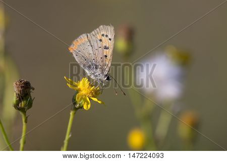 Small Copper (Lycaena phlaeas) butterfly extracting nectar from a flower with closed Wings