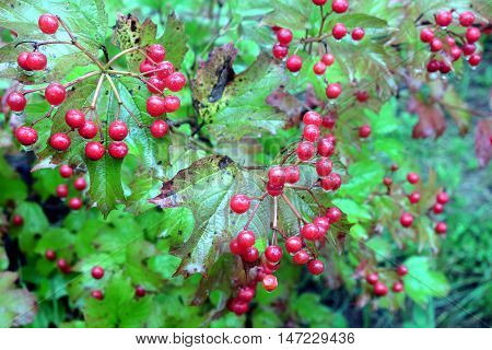 Viburnum bush with lot ripe red berries with hanging drops on branches with green leaves in autumn forest after a rain close-up view