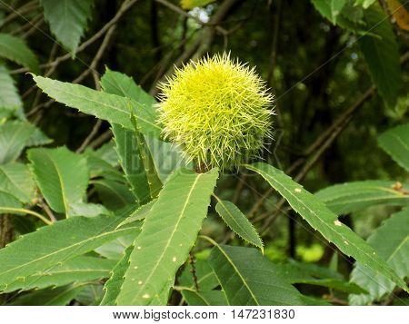 Immature chestnut on chestnut tree in garden during autumn