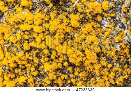 Yellow Reindeer Lichen or Cladonia rangiferina growing on old wall close up macro.