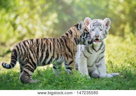 two adorable tiger cubs posing together outdoors