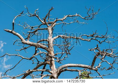 The trunk and branches of a dried-up tree against the bright blue sky.