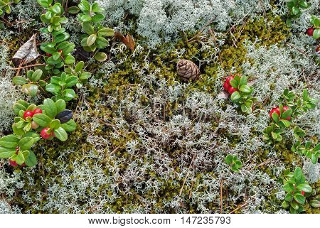 Fir cones and berry cranberries growing on a mossy surface.