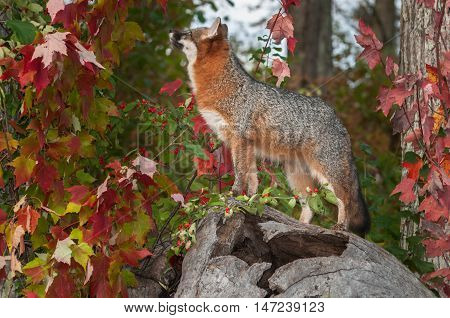 Grey Fox (Urocyon cinereoargenteus) Looks Up From Atop Log - captive animal
