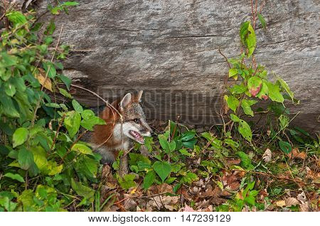 Grey Fox (Urocyon cinereoargenteus) Pokes Head Out from Under Log - captive animal