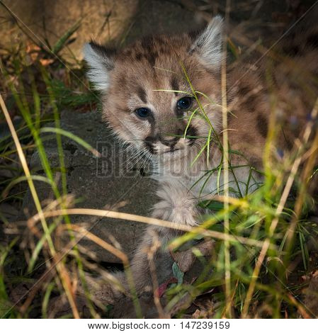 Female Cougar Kitten (Puma concolor) Creeps Through Grass - captive animal