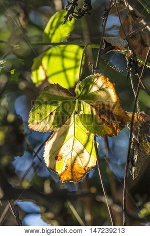 detail of leaves in indian summer colors in the forest