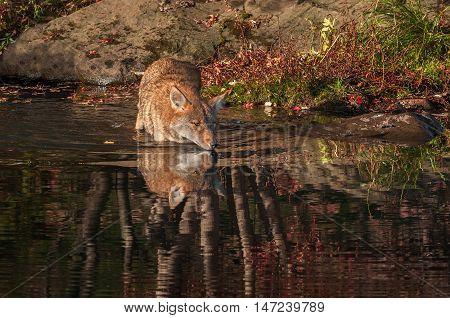 Coyote (Canis latrans) Walks Into Water - captive animal