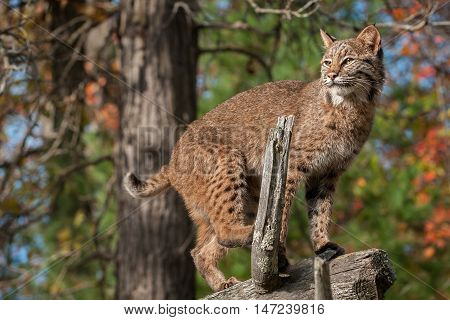 Bobcat (Lynx rufus) Looks Left from Atop Branch - captive animal