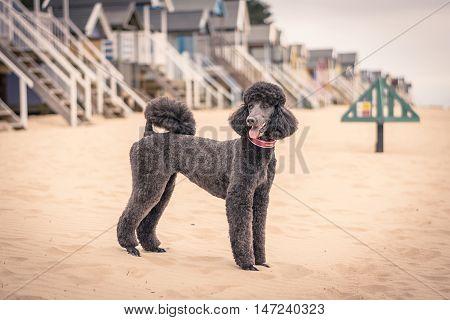 Pretty Groomed Grey Standard Poodle Dog..