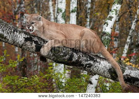 Adult Male Cougar (Puma concolor) Clings to Branch Snarling - captive animal