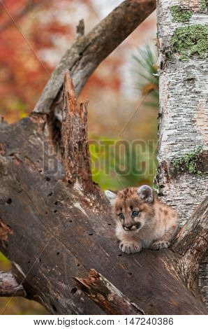 Female Cougar Kitten (Puma concolor) Looks Down from Tree - captive animal
