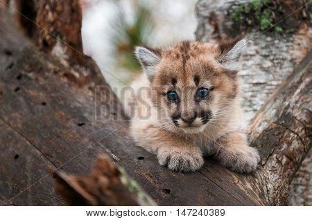Female Cougar Kitten (Puma concolor) in Crook of Tree - captive animal