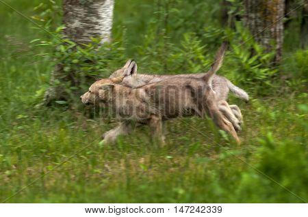 Grey Wolf (Canis lupus) Pups Runs Left - captive animals