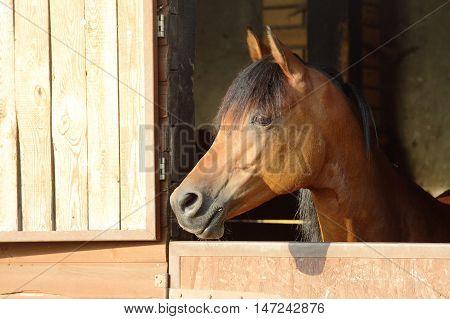 Arabian horse with head looking over wood stall door
