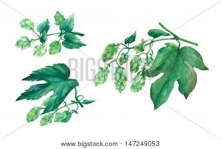 Set branch green hops. Watercolor illustration on white background.