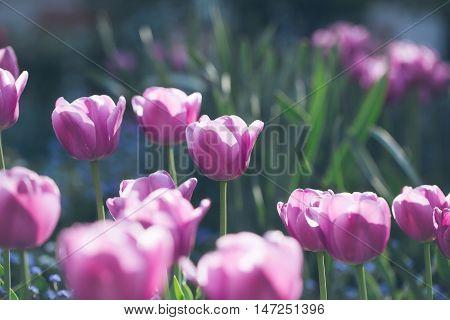 Violet Tulip Flowers Closeup
