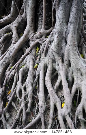 The roots of a banyan tree at six banyan tree temple in Guangzhou China.