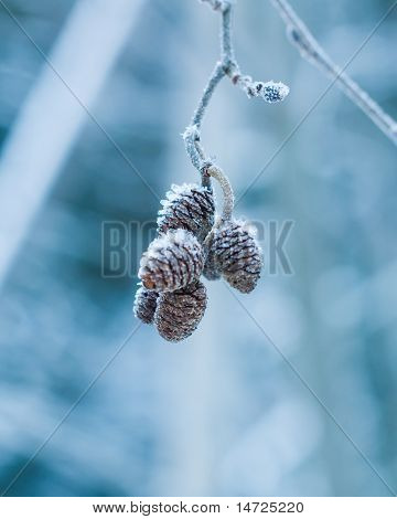 Small Cones Covered With Rime