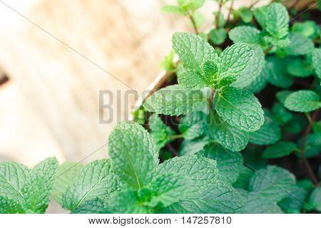 mint, Kitchen Mint, Marsh Mint leaves background