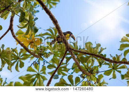 Exotic Toucan on the tree, Pantanal, Brazil