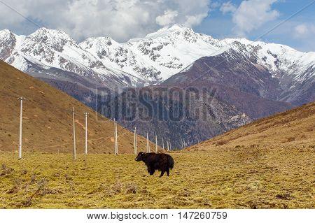 A herd of yaks graze in Tibet under snow mountain Sichuan China