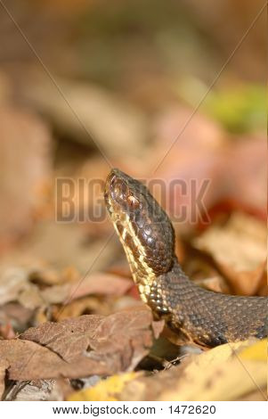 Cotton Mouth Snake And Fall Colors